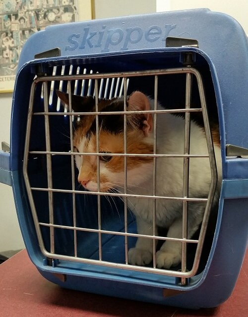 Cat on trip to the vets